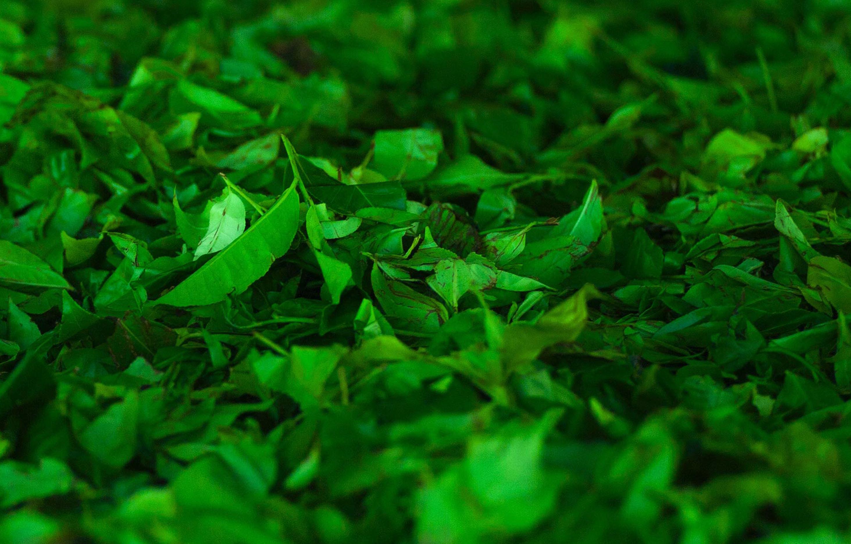 Green Tea Leaves All-Nutrient