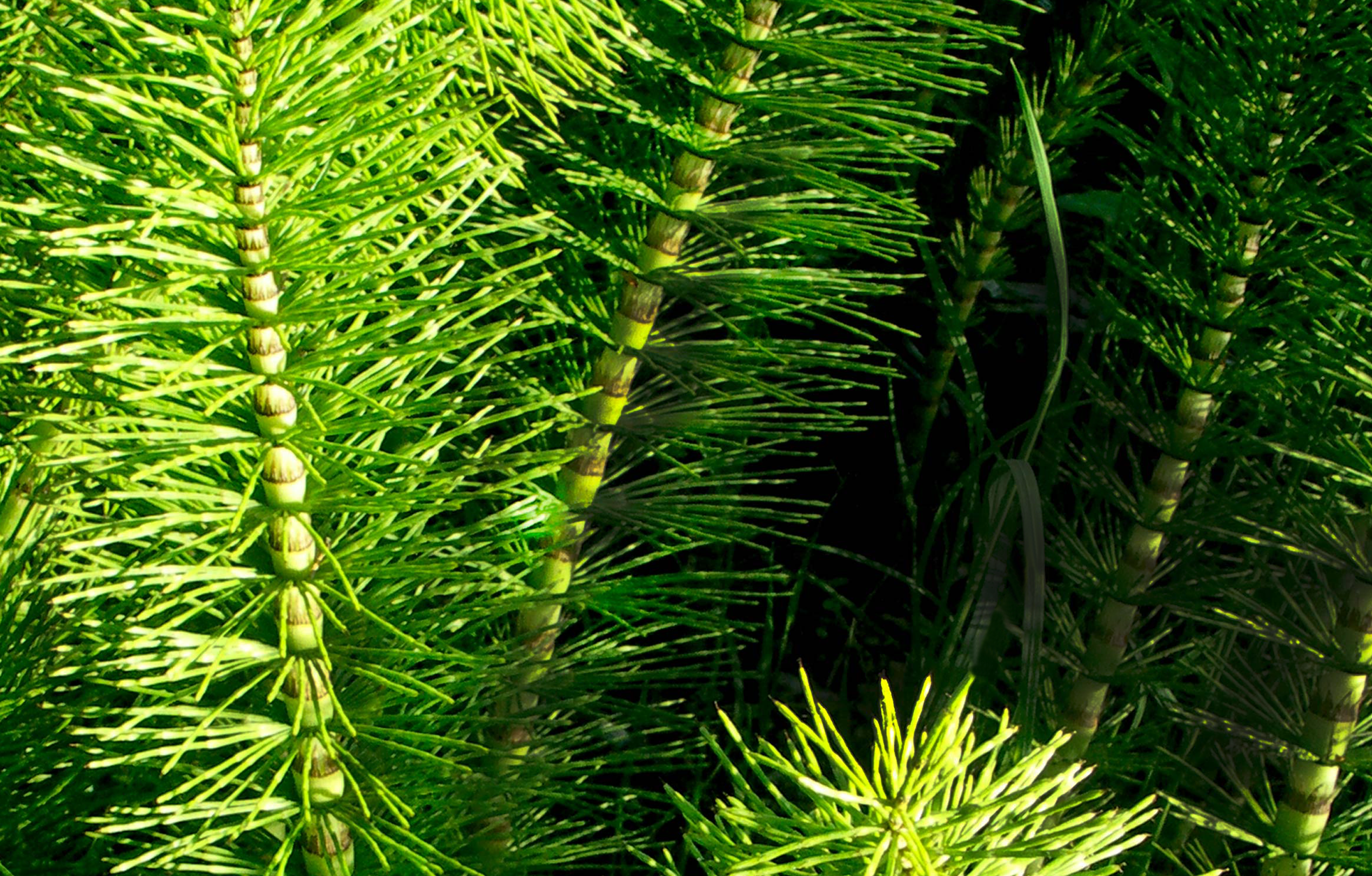 All-Nutrient Horsetail Extract Organic Ingredient